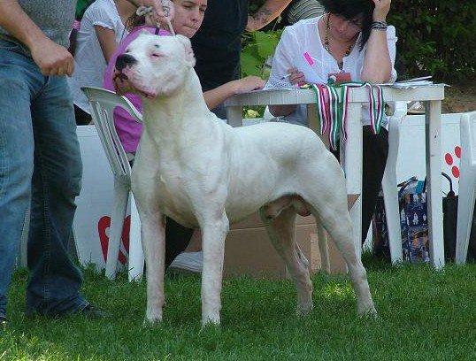 Dogo-Dogo Argentino-Argentinian Mastiff-Argentine Dogo available at ...